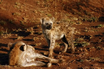 Hyena with Cub (Crocuta  crocuta)