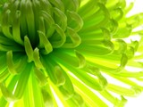 Close-up of colourful green aster to be used as a background - 5390252