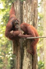 One Orang-Utan feeding another
