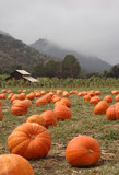 Pumpkin patch with barn poster