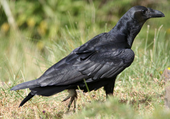Corbeau posé