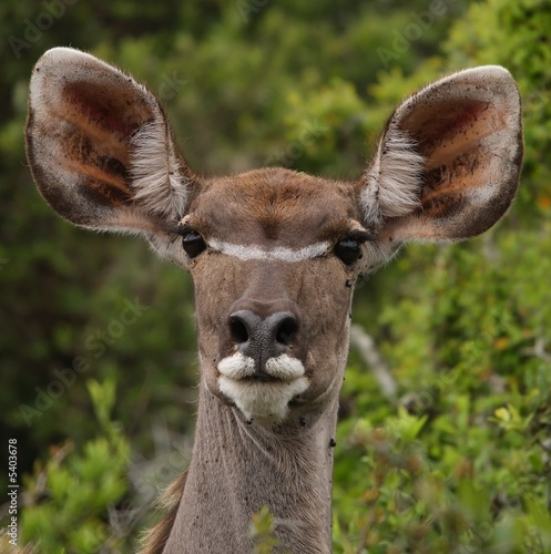 Young Kudu ewe at the Addo National Park.