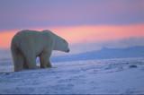 Fototapeta arktyczny - zwierzę - Dziki Ssak