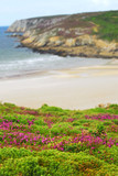 Heather blooming at Atlantic ocean coast in Brittany, France poster