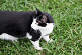 Black and white cat stalks something in the grass. poster