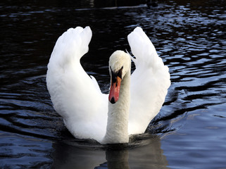 mute swan  with wings half raised