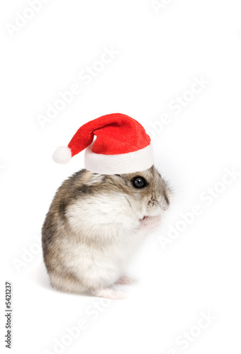 dwarf hamster with christmas red hat on white background roman