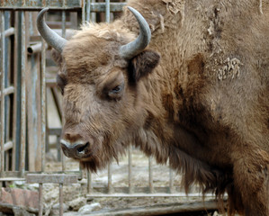 Mammal. Yak. The Rostov zoo. Russia.