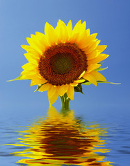 Sunflower reflections