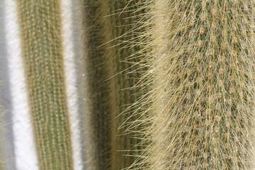 Cactus Peludo