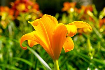bright  yellow flower in full bloom against green grasses