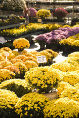 Outdoor garden center with rows of flowering mum plants.