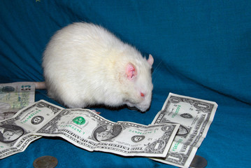 White fat rat with dollars and punds