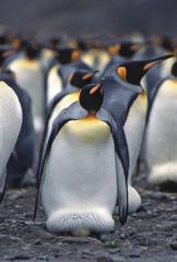 King penguin incubating egg