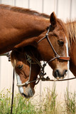 Pair of Sleepy Ranch Horses Resting In The Sun After Work poster