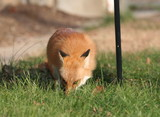 Fox in Yard