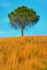 Baum in der Toskana no.1