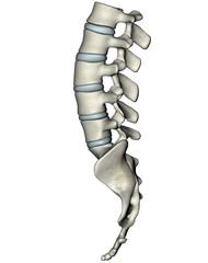 Human lateral lumbosacral spine