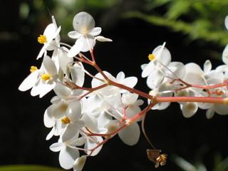fleurs blanches de bégonia