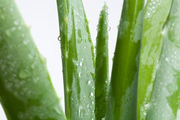 Blätter von grüner Aloe vera mit Tropfen