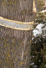 Stop Dutch Elm Disease