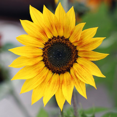 Farbenfrohe Sonnenblume