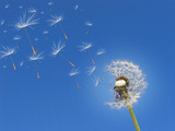 Pusteblume im Wind