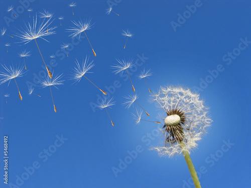Fotobehang Paardebloem Pusteblume im Wind
