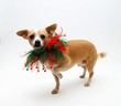 Chihuahua for Christmas
