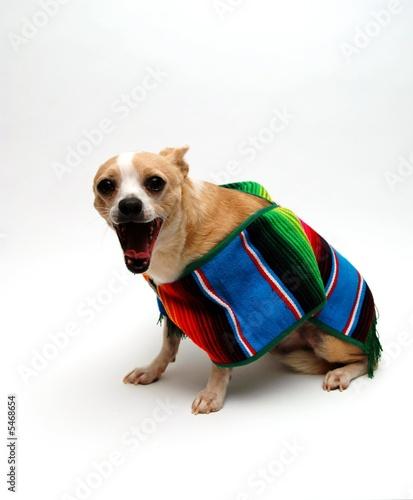 Chihuahua with a Searpe