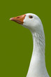 Portrait of goose isolated against green background