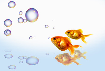 gold fish bubble