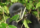 Eastern mountain gorilla baby in rainforest of Uganda poster
