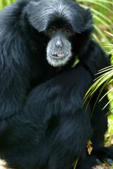 Siamang Monkey
