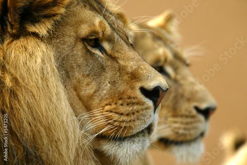 Tuinposter Leeuw African Lions