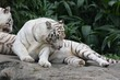 white tiger 4