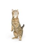 kitten begging for treat poster