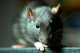 Ratte - 5481406