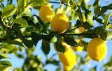 Lemons growing on lemon tree.