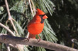 Male Northern Cardinal in a Pine Tree