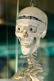 Anatomically medical model of the human skull poster