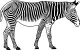 Zebra. Contour. Vector illustration. poster