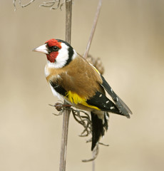 Goldfinch. Russia, Voronezh area.