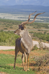 Impressive looking Kudu male proudly displaying his horns