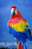 Scarlet Macaw perched on tree with blue sky background poster