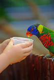 Child hands feed colorful tame pet parrot poster