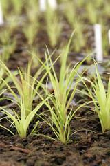 Bromeliad starts