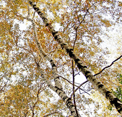 high birches trees on the sky background