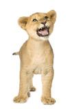 Lion Cub (5 months) poster
