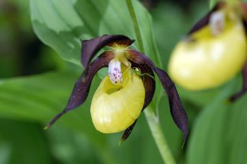 Orchideen des Hegau - Frauenschuh